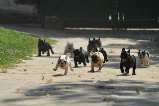 french bulldogs running